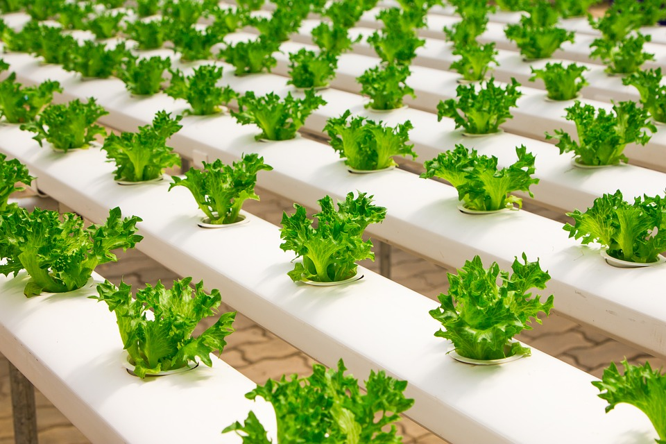 Crops being grown in a greenhouse